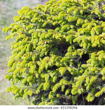 """Decorative dwarf tree larch """"Nidiformis"""" ( lat. Picea abies """"Nidiformis""""). Branches from spring growth of needles closeup #651198346"""