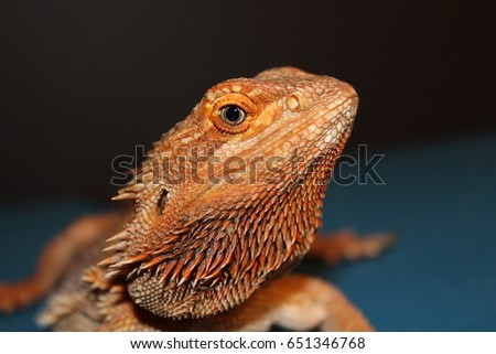 4 Year Old Female Bearded Dragon Close Up  #651346768