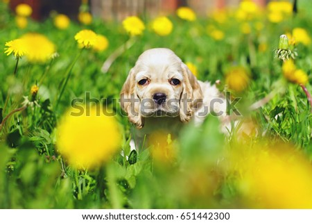 White and red American Cocker Spaniel puppy sitting in a green grass with yellow dandelions #651442300