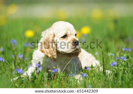 White and red American Cocker Spaniel puppy sitting in a green grass with blue flowers #651442309