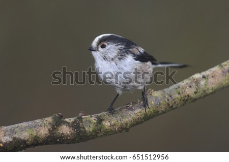 Long-tailed tit #651512956