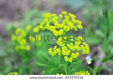 Yellow flowers next to the road in Bohemia. Focus is on the right front.  /  Yellow flowers #651970156