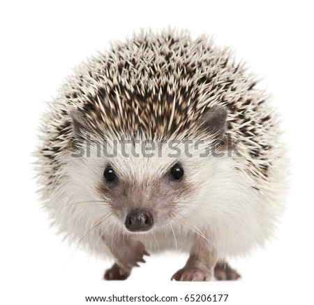 Four-toed Hedgehog, Atelerix albiventris, 2 years old, in front of white background Royalty-Free Stock Photo #65206177