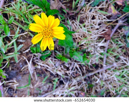 The yellow flower in full bloom among dry grass #652654030