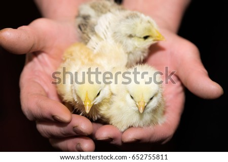 Three yellow chicken on hands #652755811