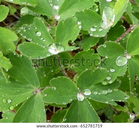 Raindrops on Green Clovers #652781719