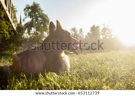 Exhausted dog resting in green grass and enjoying spring or summer sunshine and green nature and fresh air in the park