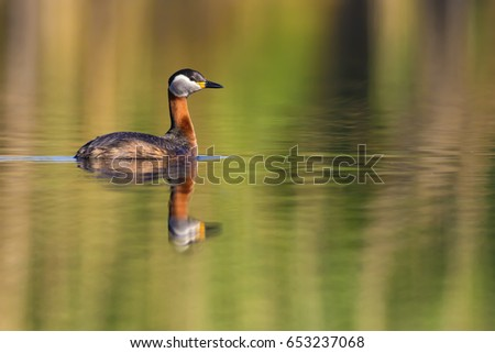 Swimming red necked grebe. Colorful water background.  Red necked Grebe Podiceps grisegena #653237068