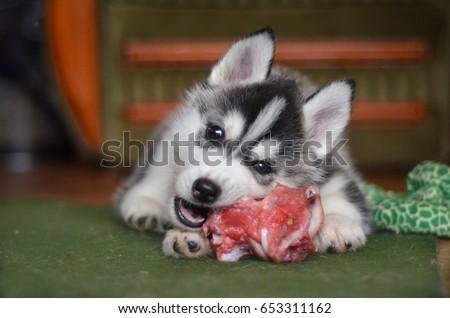Siberian husky dog puppy eating a meat bone natural feeding BARF #653311162