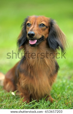 Dachshund on a background of green grass #653657203