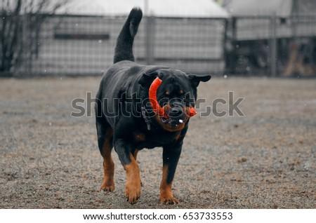Rottweiler plays on the platform #653733553