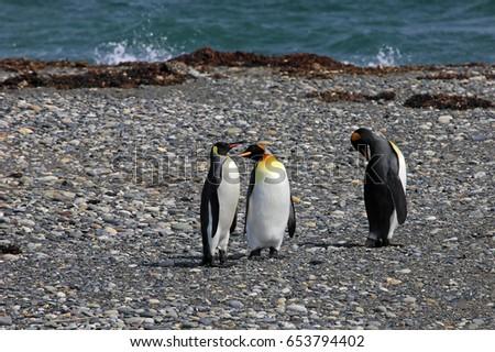 King penguins living wild at Parque Pinguino Rey, Tierra Del Fuego, Patagonia, Chile #653794402