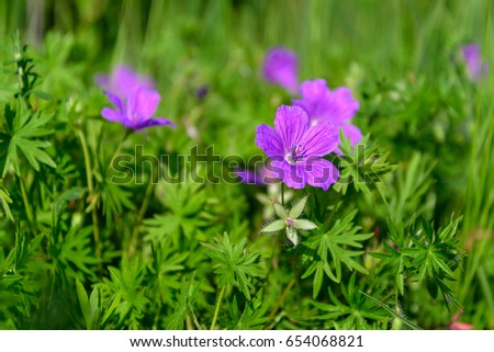 Wild flowers of geranium photographed on a background of green grass #654068821