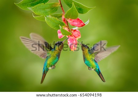 Two hummingbirds with pink flower. Fiery-throated Hummingbirds, flying next to beautiful bloom flower, Savegre, Costa Rica. Action wildlife scene from nature. #654094198
