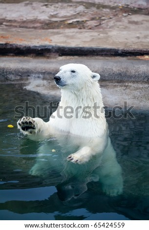 The Polar bear sitting in blue water