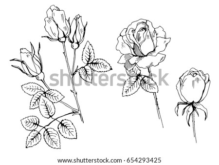 vector illustration of rose flowers