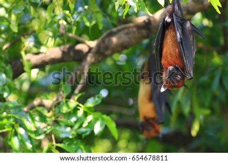Pteropus lylei in the nature #654678811