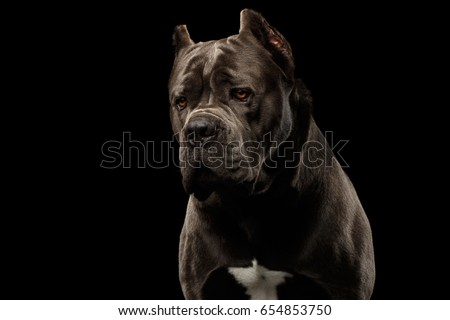 Portrait of Sad Brown Cane Corso Dog, Studio shot on Isolated black background #654853750
