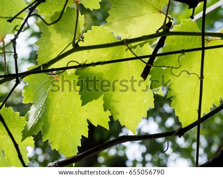 Baby Green Grape leave under blue sky and blur green background #655056790
