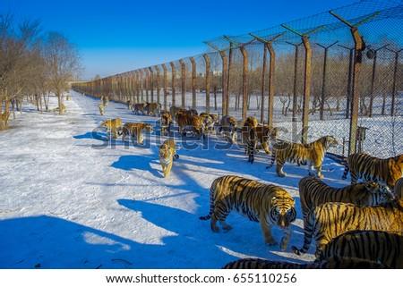 Siberian Tiger Park in Harbin, China Royalty-Free Stock Photo #655110256
