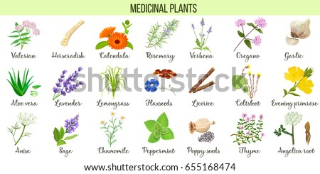 Big vector set of medicinal plants. Valerian, Aloe vera, lavender, peppermint, angelica root, Chamomile, verbena, anise, coltsfoot, thyme etc. For health care, aromatherapy, homeopathy. #655168474
