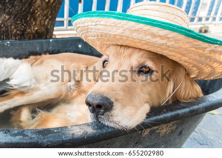The dog at outdoor pool in a hot summer, shallow focus. #655202980
