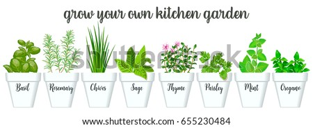 Set of vector culinary herbs in white pots with labels. Green growing basil, sage, rosemary, chives, thyme, parsley, mint, oregano with text above. Gardening. For advertising, poster, banner, web #655230484