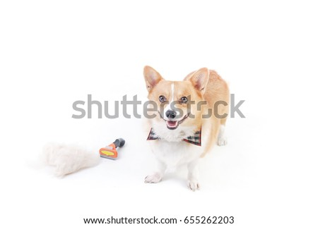 Corgi and dog clipper equipment with hair Pile on the floor  isolated on white background,animal funny picture