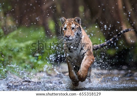 Siberian tiger, Panthera tigris altaica, running in the water directly at camera with water splashing around. Attacking predator in action. Tiger in taiga environment. Low angle photo, front view.