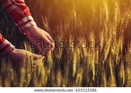 Agronomist examining ripe wheat crop spikelets in cultivated agricultural field #655512586