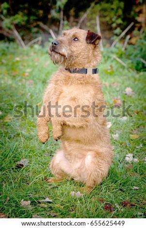 Lakeland terrier puppy dog begging  #655625449