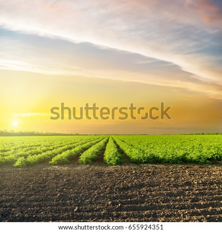 orange sunset in clouds over green agriculture field with tomatoes #655924351