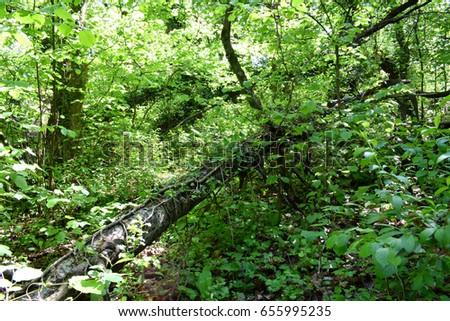Fallen trunk blocks the path in dense spontaneous vegetation #655995235