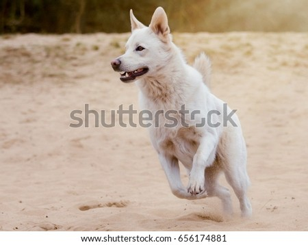 dog white jumping freedom in sand #656174881