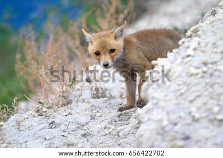 Cute Fox. Blue, green, white nature Background