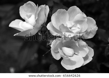 three photos of  black and white roses close up converted to black and white/black and white beauties/beautiful whites