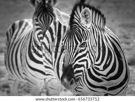 Portrait of a zebra