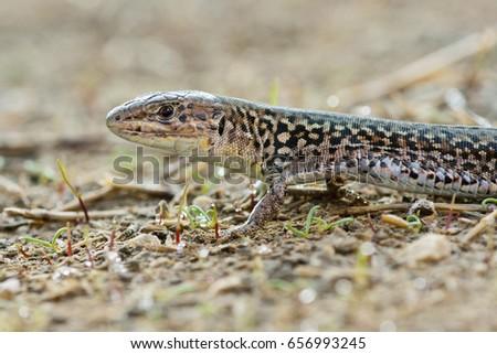 Ionian wall lizard (Podarcis ionicus) #656993245