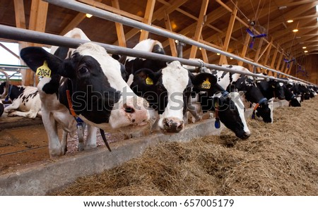 Many cows on a dairy farm. Milk production, beef production #657005179