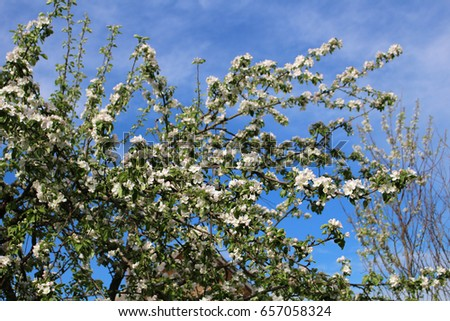 Apple tree branches in bloom against the blue sky #657058324