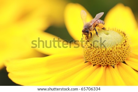 Close-up photo of a Western Honey Bee gathering nectar and spreading pollen on a young Autumn Sun Coneflower (Rudbeckia nitida). #65706334
