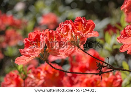 Magnificent blossoming of the rhododendrons in Babite. Latvia. #657194323