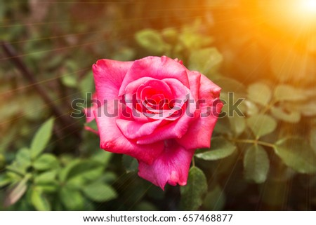 Red roses in the garden #657468877