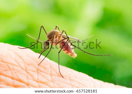 Aedes aegypti Mosquito. Close up a Mosquito sucking human blood, #657528181