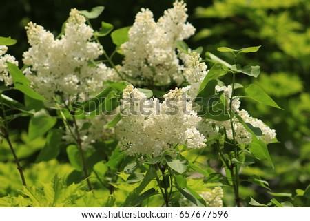 White lilac bushes #657677596