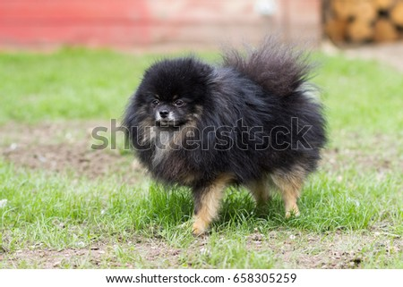 Pomeranian black dog sitting happy on green grass #658305259