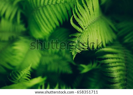 Beautyful ferns leaves green foliage natural floral fern background in sunlight. Royalty-Free Stock Photo #658351711