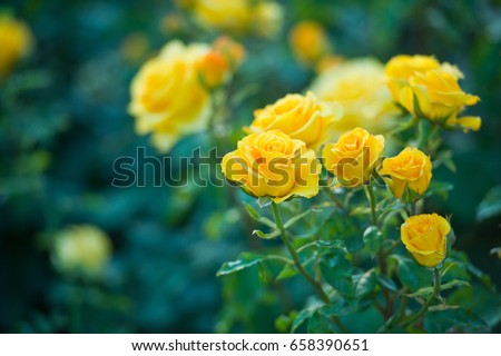 Beautiful bush of yellow roses in a spring garden. Rose garden.
