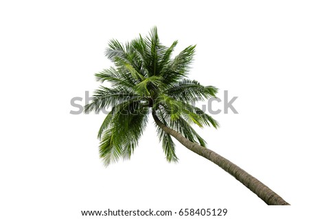 Coconut tree isolated on white background #658405129