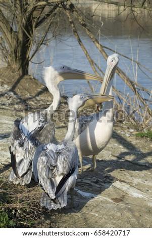 Three pelicans on a lake shore #658420717